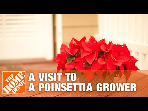 A Visit To A Poinsettia Grower | The Home Depot