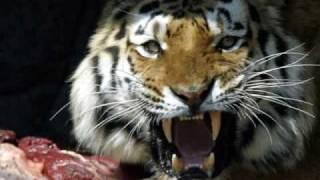 Tygrysy piękne zwierzęta