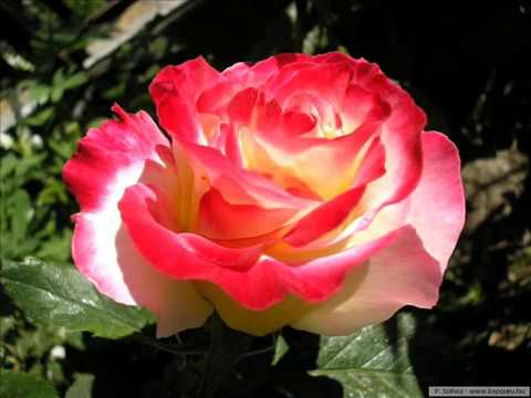 Most Beautiful Rose Pictures & En Güzel  Güller