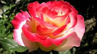 Most Beautiful Rose Pictures  En Güzel  Güller