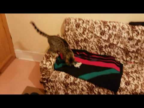 Dragon Li (Li Hua Mao) kitten playing