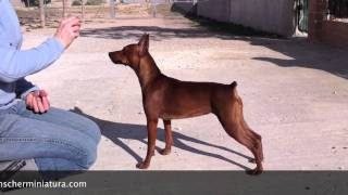 Miniature Pinscher Training Show