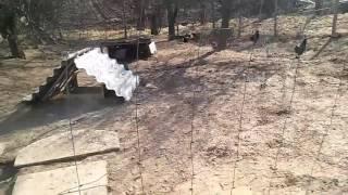 Kury ozdobne: Karmienie i wietrzenie po tygodniu w kurniku