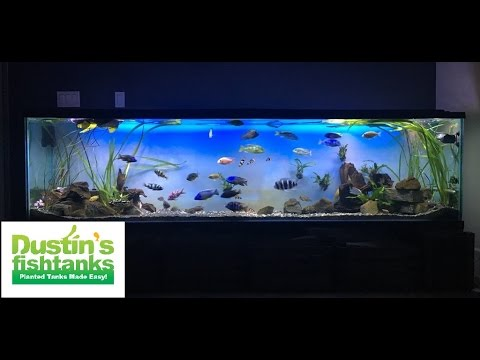 African cichlid contest tanks youtube for Dustins fish tanks