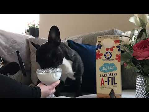 The Woody Show - How Long Can You Listen to This French Bulldog Lap Up Milk?