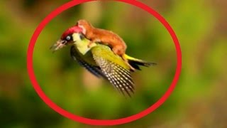 Extraordinary  Weasel rides on woodpecker's back HD