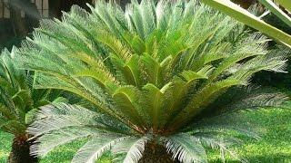 Цикас  Советы по выращиванию(Цикас одно из самых красивых комнатных растений. Его изящно изогнутые перистые листья (ваи) удивляют своей..., 2016-04-29T12:50:14.000Z)