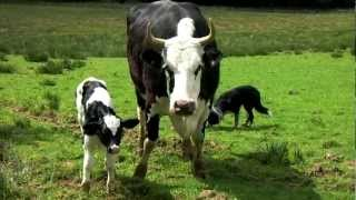 Baby Calf Being BORN! Farmville IRL by Qelric