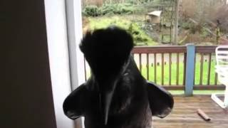 A Raven Imitating a human