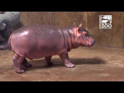 Premature Baby Hippo Fiona Explores Big Space - Cincinnati Zoo