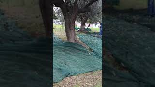La raccolta delle olive a Termoli