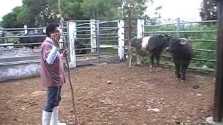Búfalo con hipertrofia muscular. Rastros Municipales