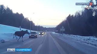 Опасная встреча: водителей республики предупредили о диких животных на трассе (ВИДЕО)