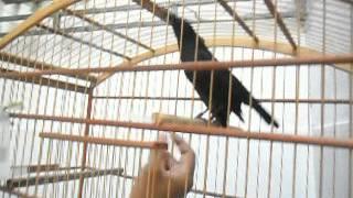 Pássaro Preto (Graúna, Merro ...) manso de canto selvagem !!!