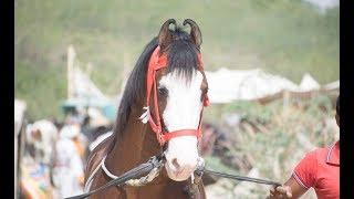 Balotra Tilwara Horse Fair 2018 Marwari horse videography