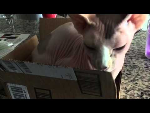 Sphynx cat in a small box