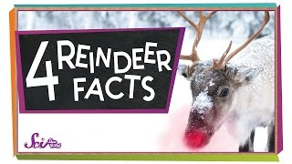 4 Facts to Know About Reindeer