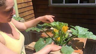 Zucchini Pollination
