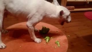 ワッツ君は、野菜が大好き  ♥❤特にブロッコリーが好きなので、お誕生日...