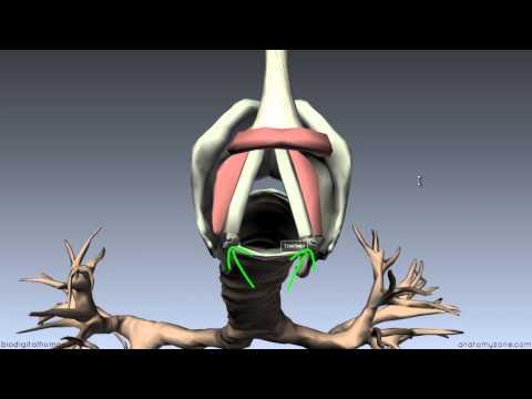 Larynx - Ligaments, Membranes, Vocal Cords - 3D Anatomy Tutorial