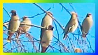 Свиристели красивые птицы Этот прекрасный мир🐦🐦