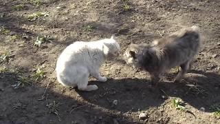 Коты дерутся и разговаривают [прикол]