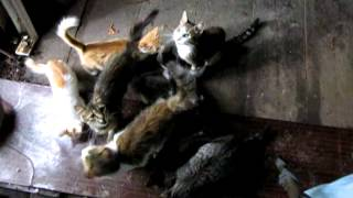 как коты сало не едят   (as cats do not eat bacon)