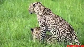 Wild Leopard Sex Mating HD