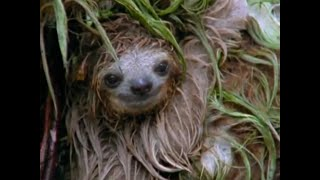 Mouldy Sloth | Amazon Assassin | BBC Earth