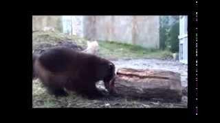 Rosomák - hltoun a zuřivec (wolverine - Zoo Hluboka)