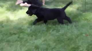 Rottie Golden Retriever Mix Puppies For Sale