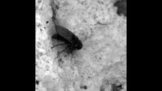 A tiny fly can 'scuba dive' in a salty and toxic lake