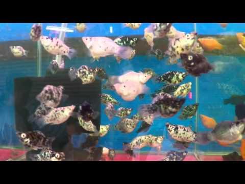 Dalmatian Mollies - Aquarium Fish