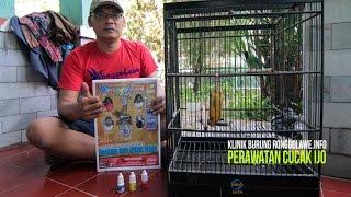 Klinik Burung Ronggolawe : Perawatan Cucak Ijo