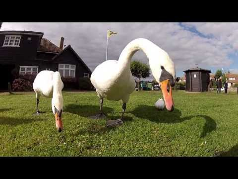 Feeding the swans at Thorpeness Meare