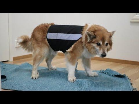 Dog Hates to Wear a Reflective Vest | Hötti the Icelandic Sheepdog