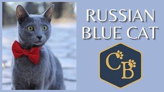 Russian Blue Cat in Detail .