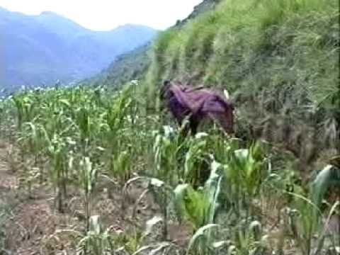 The stages of growing maize in a Himalayan village in Nepal - 1992