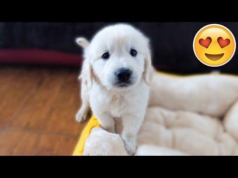 WE GOT A PUPPY! Bailey the 7 Week Old Golden Retriever | First Video