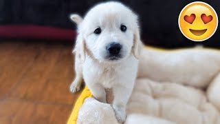 WE GOT A PUPPY! Bailey the 7 Week Old Golden Retriever | First Video