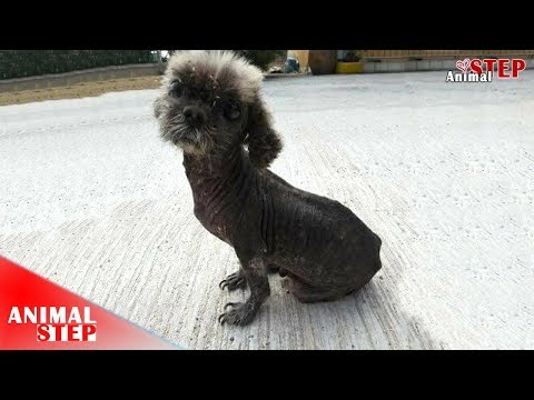 Homeless Poodle with Severely Sarcoptic Mange Getting New Life