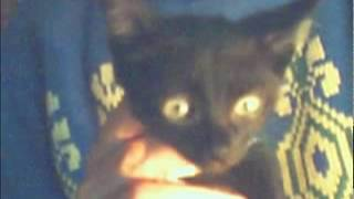 Кот черный с золотыми глазами