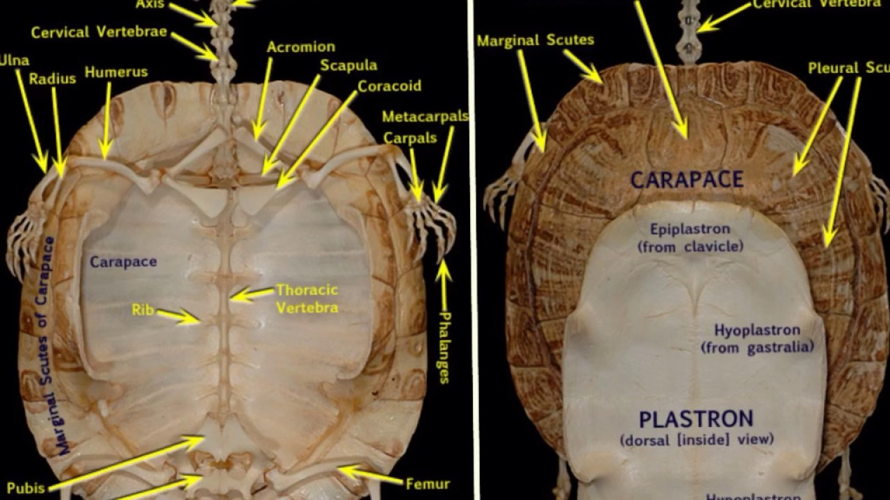 turtle anatomy - YouTube
