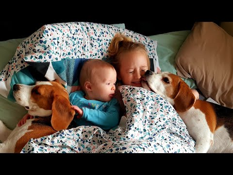 Protective Beagles are Perfect Family Dogs for Our Baby