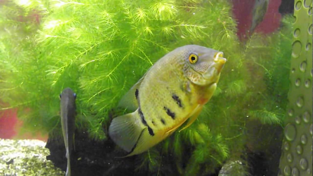 Freshwater aquarium fish list species - Freshwater Aquarium Fish Species Cichlasoma Severum