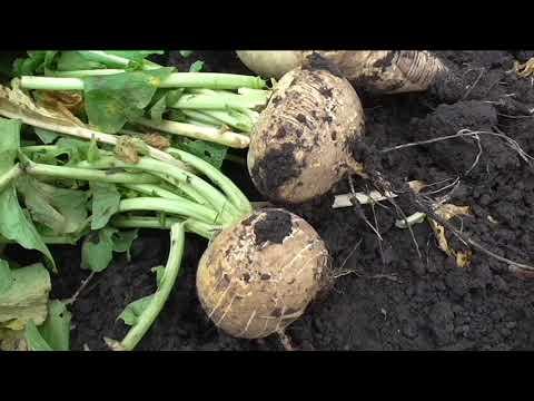 Репа сорт ПЕТРОВСКАЯ 1, описание, опыт выращивания.