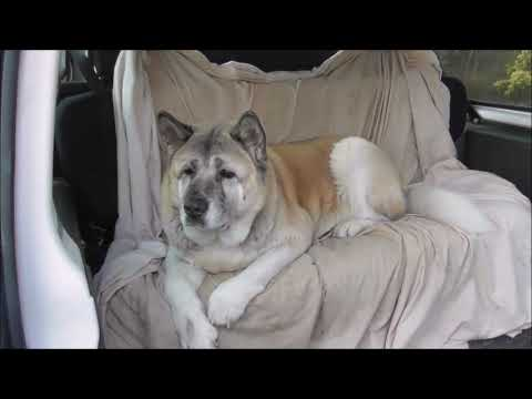 Meet Suki The Japanese Akita Dog From Belfast