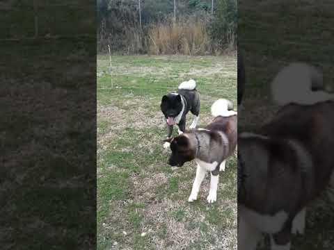 American Akita dogs playing