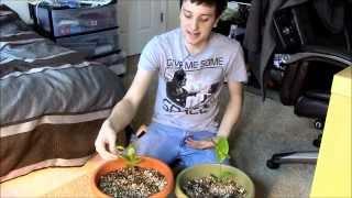 How to grow Camellia
