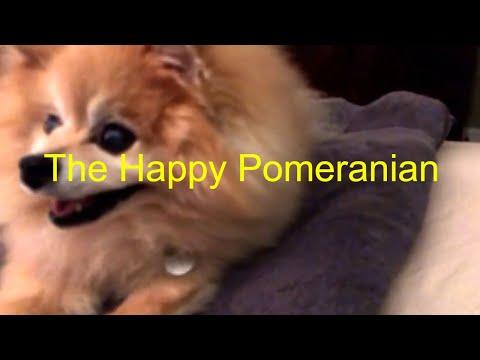 The Happy Pomeranian Dog Video